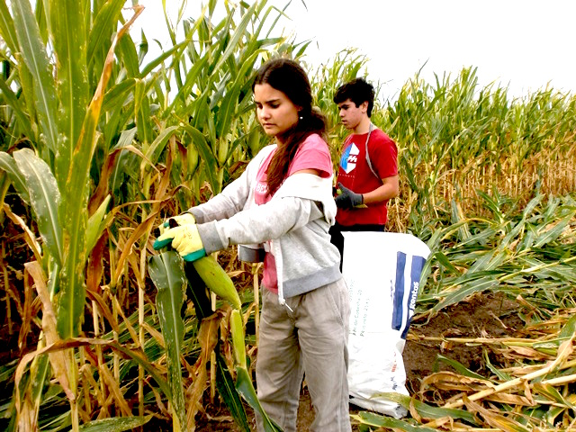 The Corn Harvest: Solidarity inAction